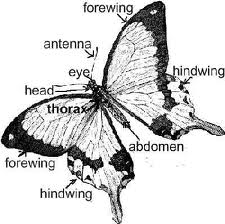 diagram of butterfly aesthetichealingmindset s blog rh aesthetichealingmindset wordpress com diagram of butterfly parts diagram of butterfly body parts